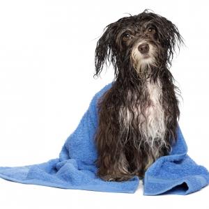 Toilettage d'un chien du refuge de Brignais