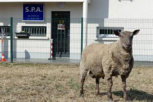L'un des moutons sauvés d'un abattoir illégal